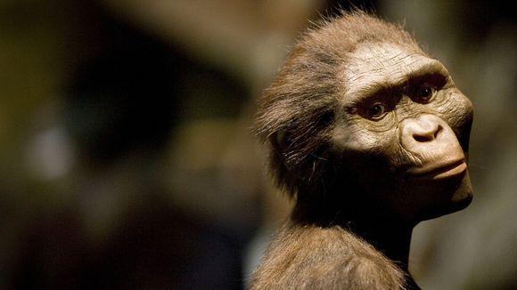 So könnte Lucy ausgesehen haben. Forscher haben anhand der fossilen Überreste den Körper unserer 3,2 Millionen Jahre alten Vorfahrin nachgebaut.  |  © Dave Einsel/Getty Images